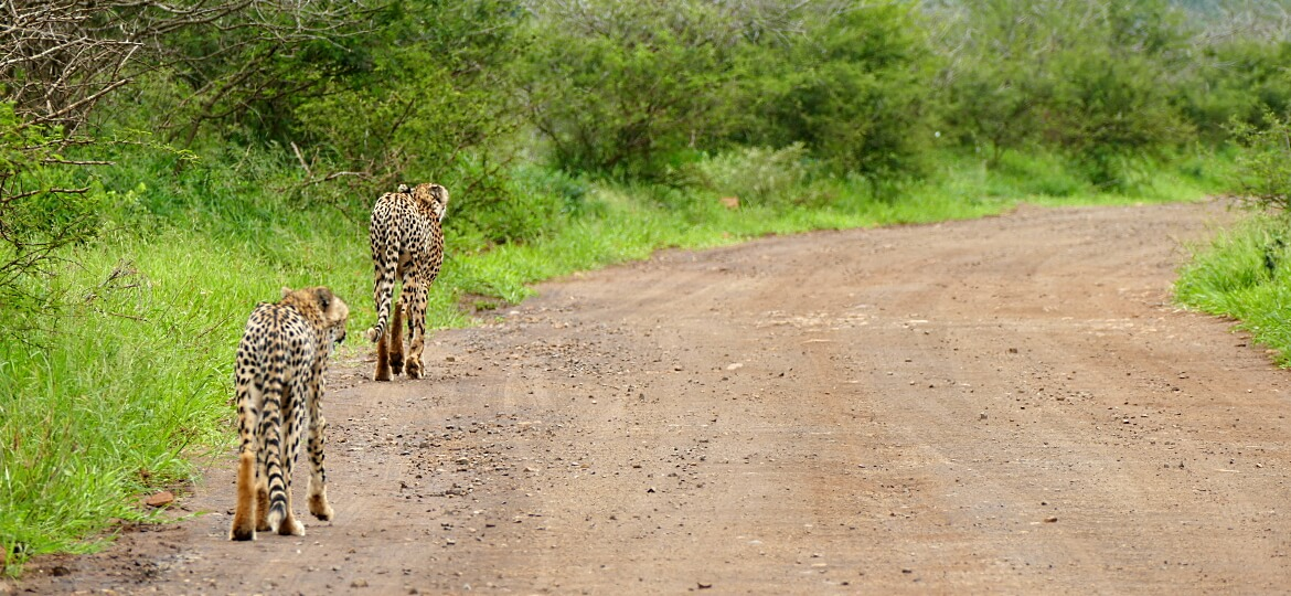 Two cheetah on the road